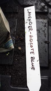 Seedlings appear from soil on bottom of tray.
