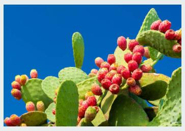 Health Benefits of Nopal Cactus