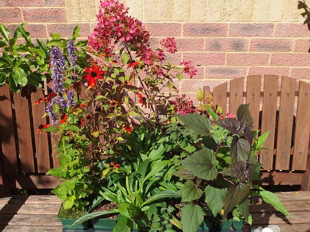 Choice plants from last weekend's plant sale at West Kington nurseries