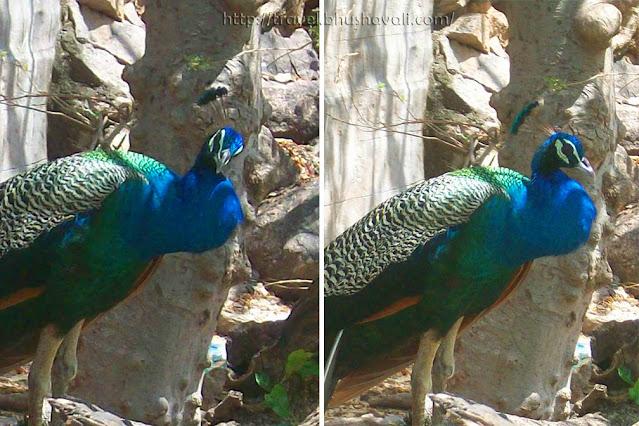 Viralimalai Peacocks