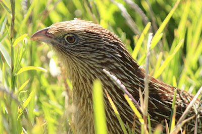 Australian pheasant species review