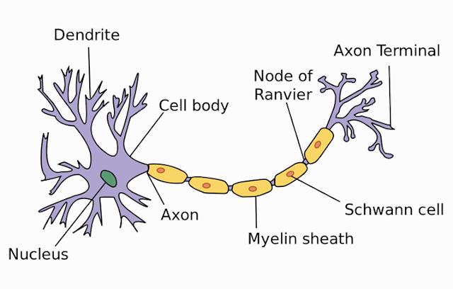 Pengertian, Struktur dan Fungsi Sel Saraf (Neuron)