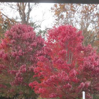 red dogwood trees