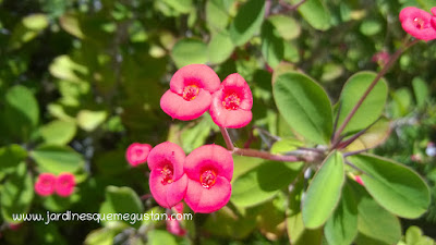 Flores y brácteas de Euphorbia milii