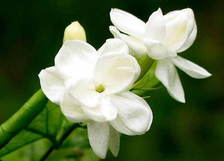 Bunga Nasional Negara Negara Asean Gatra Guru