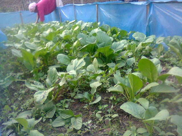 Budidaya Sawi Organik Menguntungkan di Kebun Halaman Rumah
