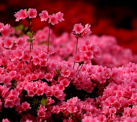 Hoa Đỗ Quyên Hồng