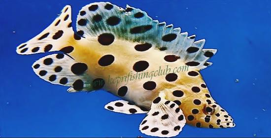 Salam jumpa kembali sobat angler mania dengan Jenis Ikan Kerapu Termahal Di Dunia