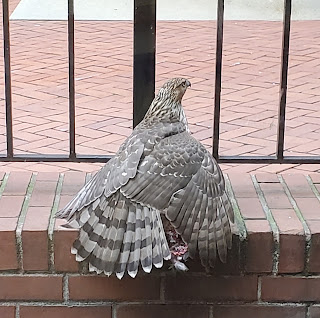 A juvenile Cooper's hawk spreads its wings to cover its prey, while perched on a brick wall with a railing behind it.