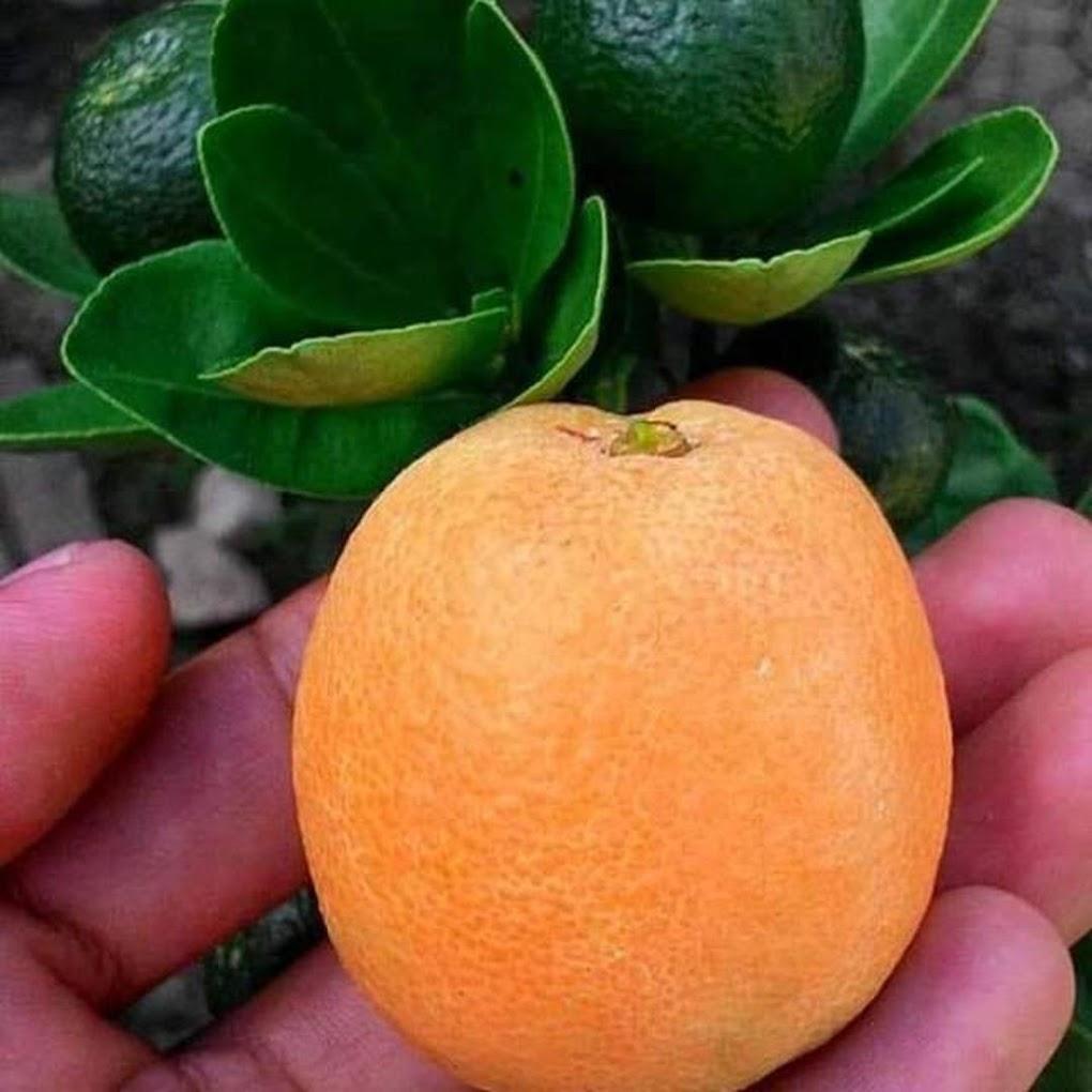 Bibit jeruk kintan cepat berbuah hasil stek Sumatra Utara