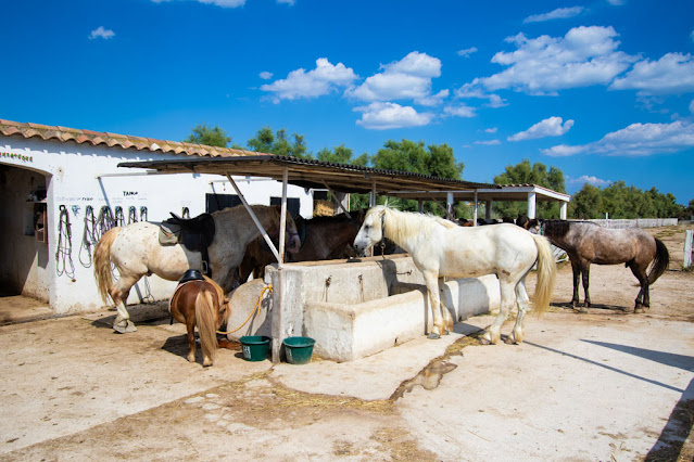 Cavalli bianchi-Camargue