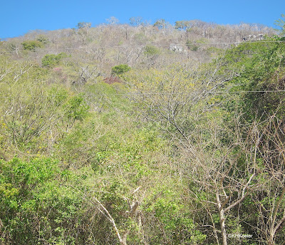 leafless trees on the hill, Guanacaste, Costa Rica