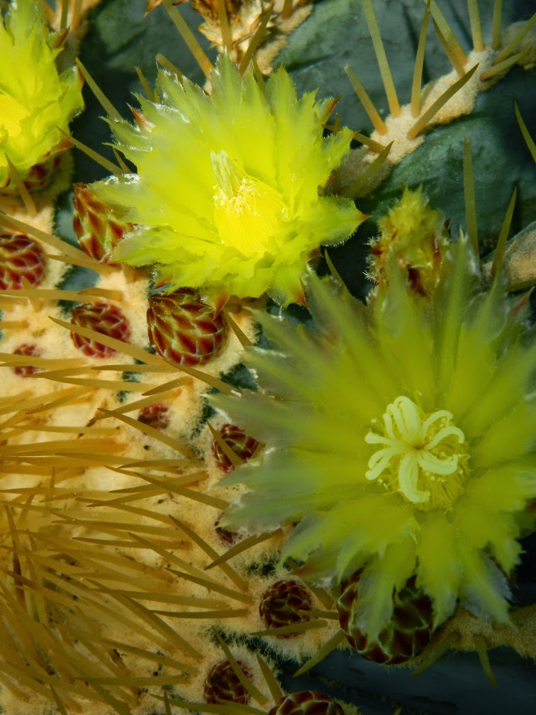 Centennial Park Conservatory yellow cactus flowers by garden muses-not another Toronto gardening blog