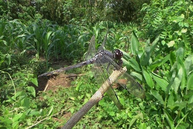 Dlium Swampwatcher (Potamarcha congener)