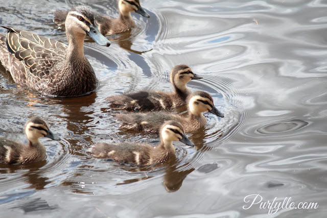 Pacific black duck and her ducklings