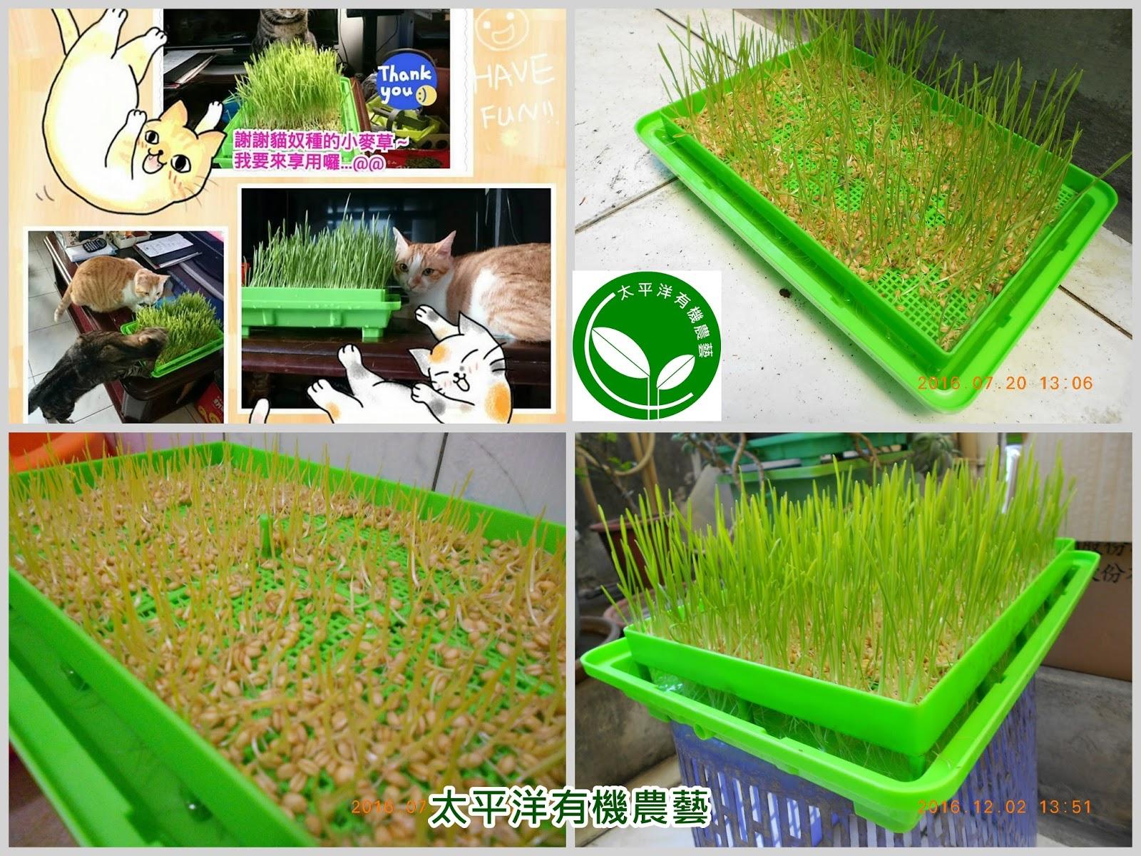 貓草水耕盤