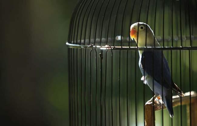 Menjemur burung lovebird