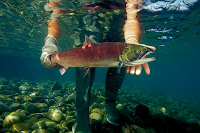 Sockeye salmon that swim the long journey up the Columbia River and into the Snake River in Idaho to spawn are among those most at risk. (Credit: Mark Conlin/VW PICS/UIG via Getty Images) Click to Enlarge.