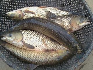 Xin hỏi cách khắc phục cá trắm cỏ bị chết bất thường?