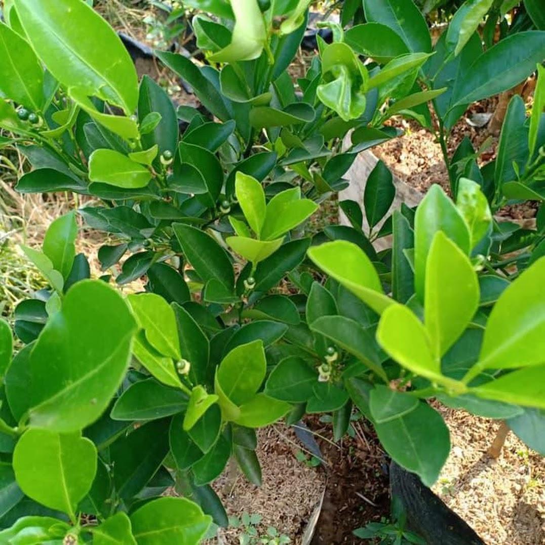 Produc Bibit Pohon Jeruk Kip Lemon Cina Sdh Berbuah Kecil2 Tinggi 50 60Cm Tr M Banten