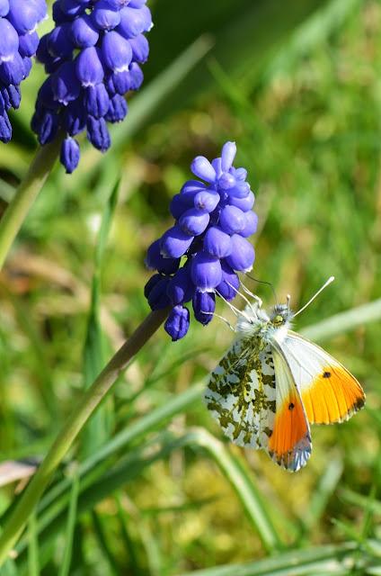 Papillon Aurore sur Muscari