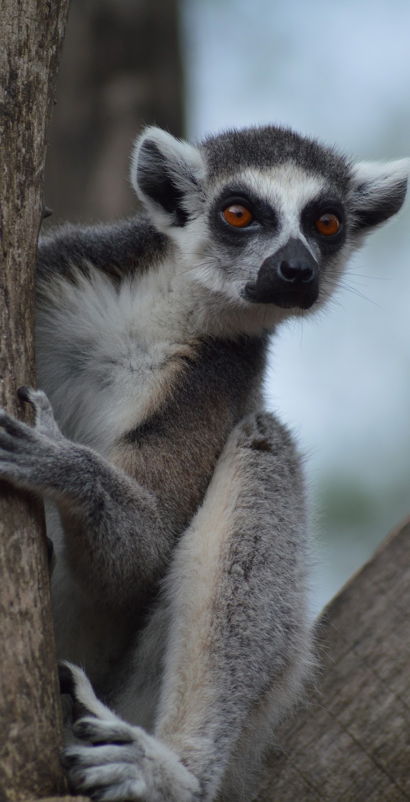 A lemur on tree.