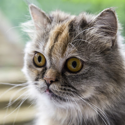 Why do people pick cats with flat faces? A traditional doll face Persian is pictured; the breed standard now calls for a much flatter face