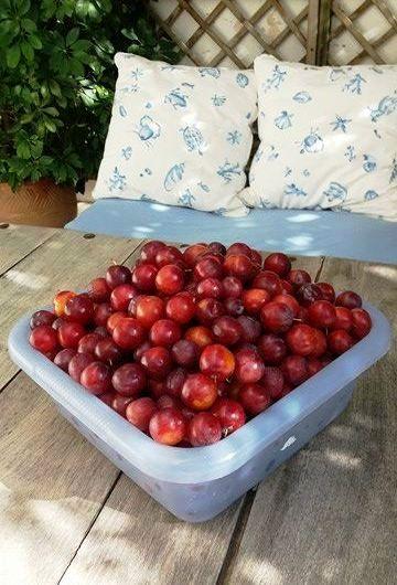 Twelve kilos of plums.