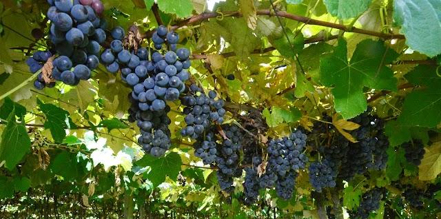 Uvas vendidas na Festa da Uva terão preço especial
