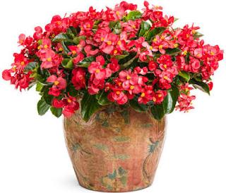 tanaman hias begonia