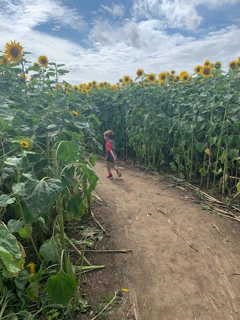 Little boy in sunflower patch
