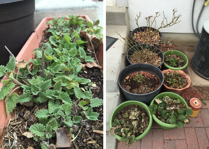 Garden Update: March 5, 2016 // WWW.THEJOYBLOG.NET