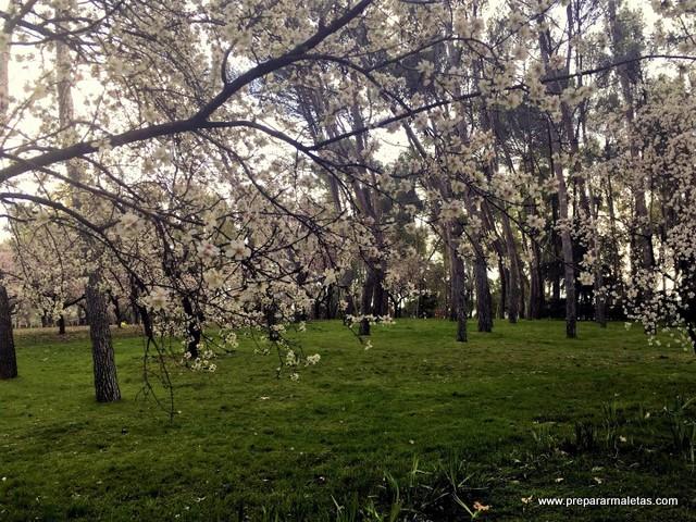 almendros en flor en Madrid Quinta Molinos