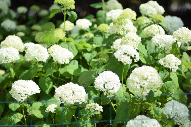 Hydrangeas in the Hamptons.