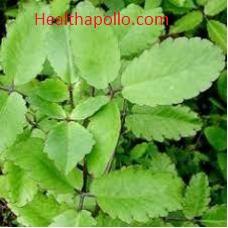 Pathatchatta bryophyllum useful for Kidney Stone