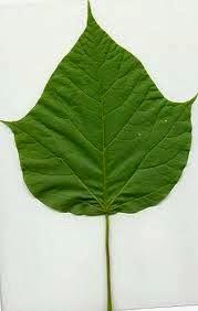 la catalpa en los bosques de alimentos
