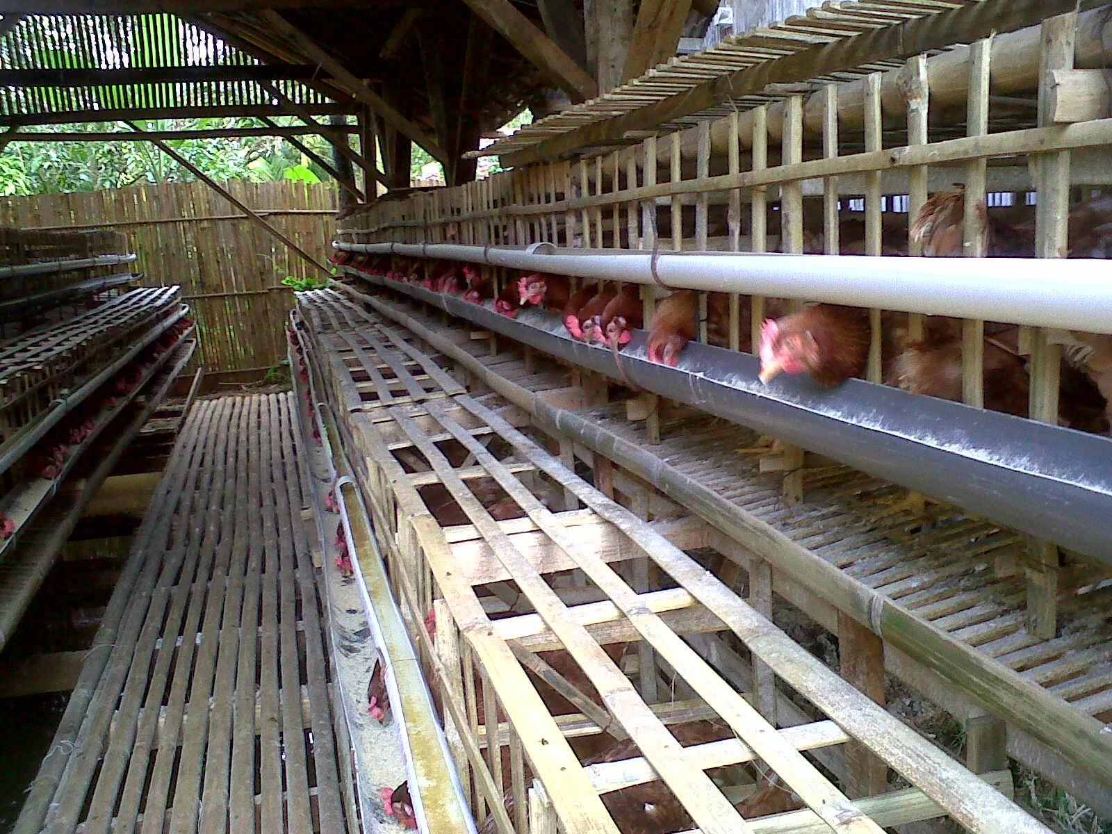 Kebutuhan Nutrisi Ayam Petelur Berdasar Umur - Kandang ...