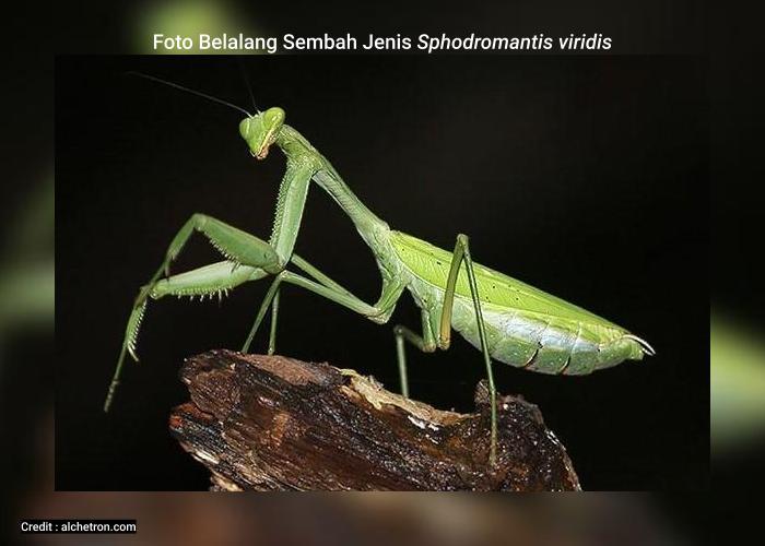 Belalang Sembah Sphodromantis viridis Memiliki Kamampuan Partenogenesis