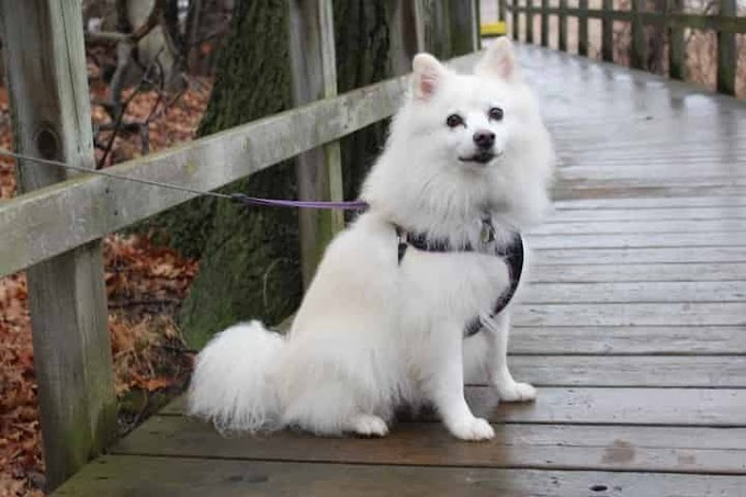 Japanese Spitz - Training, Health, Exercise, Appearance, Feature, and History