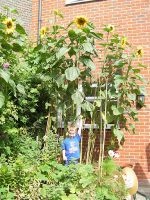 very tall helianthus annuus sunflowers in flowerbed
