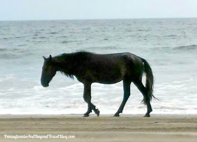 Corolla Wild Horse Tour in Corolla Beach North Carolina