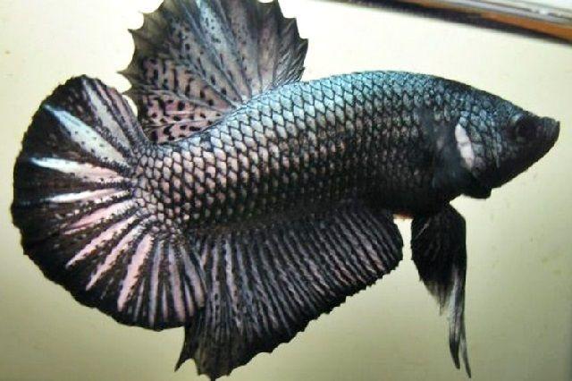 Penyakit Nonparasiter Ikan Cupang – Bacul