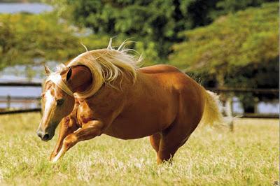 Robusto, o cavalo Quarto de Milha é especialmente apto para o trabalho de condução do gado, principalmente por seu extraordinário arranque e por ser um cavalo capaz de percorrer curtas distâncias com incomparável velocidade.  A cabeça do cavalo Quarto de Milha é pequena, com a fronte ampla, perfil reto, com olhos grandes e bem afastados entre si. Ele apresenta temperamento dócil e inteligente.