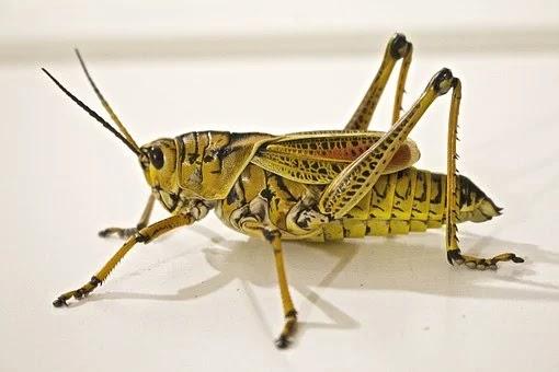 The Locust Plague   A scientific perspective