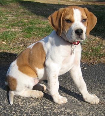 Beagle Mix Pict...