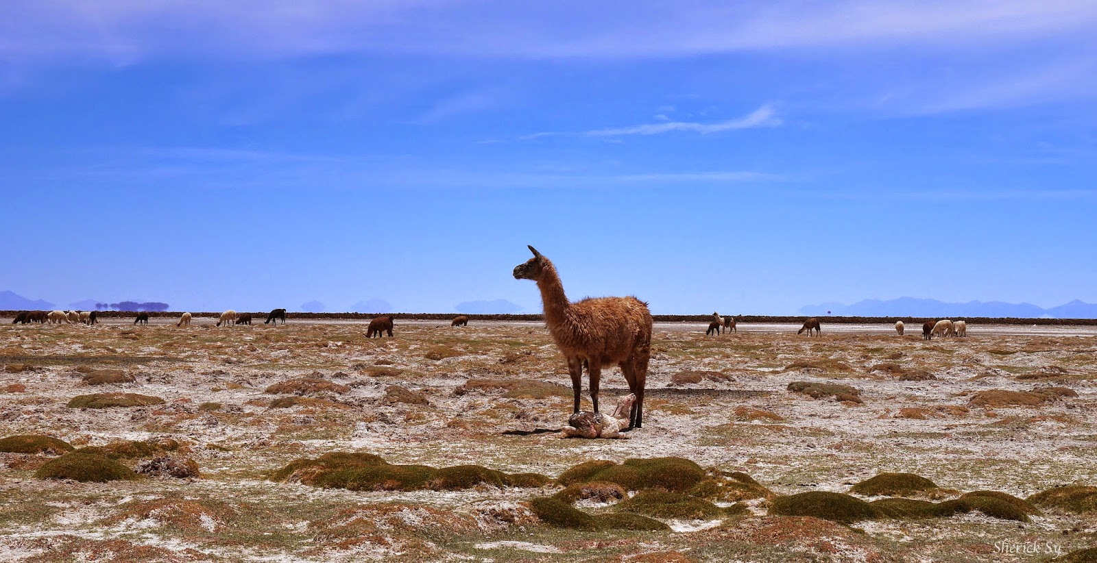 Llama Giving Birth in Uyuni, Bolivia
