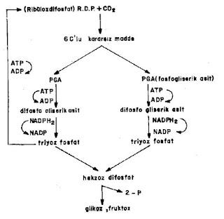 Fotosentezin Karanlık Reaksiyonları (Calvin Döngüsü)