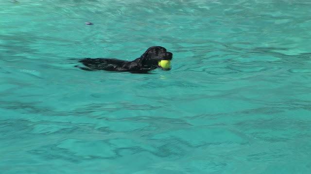 Los Perros Nadan para recuperar sus juguetes
