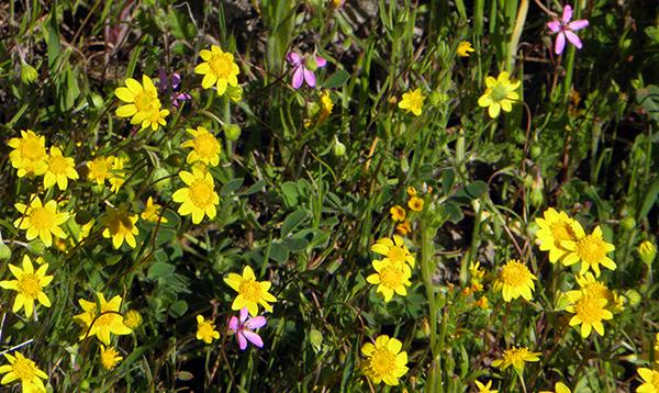 Closeup of tiny California Goldfields, with tiny purple gilia