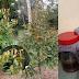 Guna Ikan Reject & Yakult Je, Lihatlah Pucuk Baru Durian Ni Keluar Macam 'Roket'